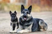 Продаются щенки Восточно-европейской овчарки!